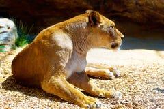 Härlig lejoninna som vilar i solskenet bakgrund föder upp den steniga stenstrukturen för rocken Royaltyfri Foto