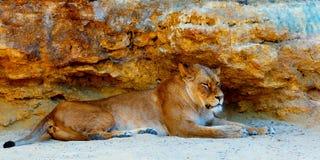Härlig lejoninna som vilar i solskenet bakgrund föder upp den steniga stenstrukturen för rocken Royaltyfria Foton