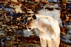Härlig lejoninna som vilar i solskenet bakgrund föder upp den steniga stenstrukturen för rocken Arkivbilder