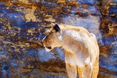 Härlig lejoninna som vilar i solskenet bakgrund föder upp den steniga stenstrukturen för rocken Royaltyfria Bilder