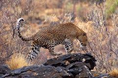 Härlig leopard i Namibia Fotografering för Bildbyråer