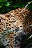 Härlig leopardPanthera Pardus Arkivfoto