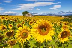 Härlig liggande med solrosfältet Arkivfoton
