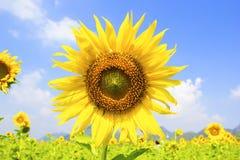 Härlig liggande med solrosfältet Royaltyfri Fotografi