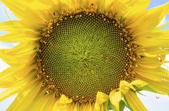 Härlig liggande med solrosfältet Royaltyfri Bild