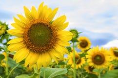 Härlig liggande med solrosfältet Royaltyfri Foto