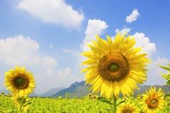 Härlig liggande med solrosfältet Fotografering för Bildbyråer