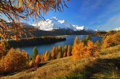 härlig liggandeschweizare för alps Arkivfoton