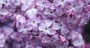 Härlig lila buske Royaltyfri Bild