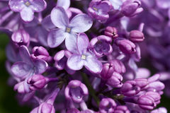 Härlig lila buske Arkivbilder