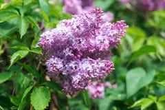Härlig lila buske closeupen blommar lilan Royaltyfri Fotografi