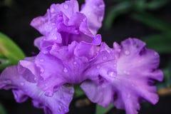 Härlig lila iris Fotografering för Bildbyråer