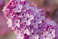 Härlig lila på en bakgrundsnatur Royaltyfria Bilder