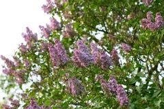 Härlig lila på en bakgrundsnatur Arkivbild