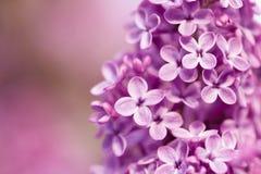 Härlig lila på en bakgrundsnatur Arkivfoton