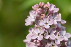 Härlig lila på en bakgrundsnatur Royaltyfri Foto