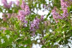 Härlig lila på en bakgrundsnatur Royaltyfria Foton