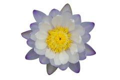 Härlig lila-vit lotusblommablomma som isoleras på vit bakgrund Arkivfoto