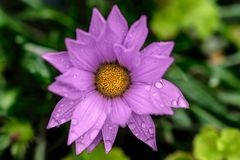 Härlig lilablomma efter regnet arkivbilder