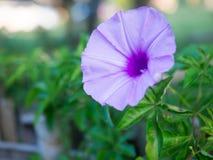 Härlig lilablomma i Laos Royaltyfri Fotografi