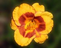 härlig lilja Arkivfoto