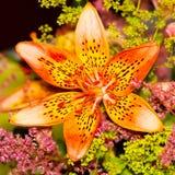 härlig liljaorange Royaltyfria Bilder