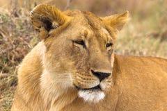 härlig lioness Savann av Serengeti Arkivfoton