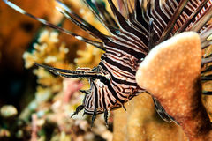 Härlig Lionfish på en rev Arkivbild