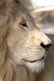 härlig lionwhite Royaltyfri Foto