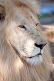 härlig lionwhite Royaltyfri Fotografi