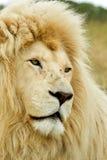 härlig lionwhite Royaltyfri Bild