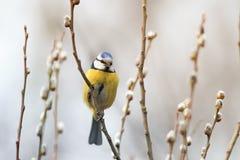 Härlig liten fågel för blå mes som sjunger en sång på en fluffig pil Fotografering för Bildbyråer