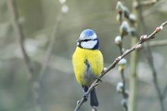 Härlig liten fågel för blå mes som sjunger en sång på en fluffig pil Arkivfoto