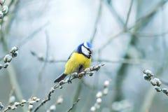 Härlig liten fågel för blå mes som sjunger en sång på en fluffig pil Royaltyfri Fotografi