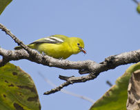 Härlig liten fågel gemensamma Iora Arkivfoton