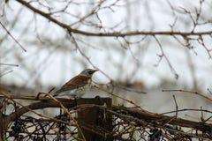 Härlig liten fågel i vinterfilialerna av druvor royaltyfria foton