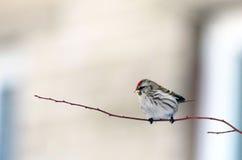 Härlig liten fågel på en filial Arkivfoton
