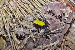 Härlig liten groda som klättrar Mantella, Mantella laevigata, nyfikna Mangabe, Madagascar Royaltyfria Bilder