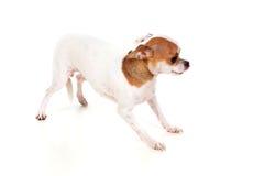 Härlig liten hund Arkivfoton