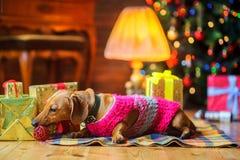 Härlig liten hund av den iklädda taxaveln ett varmt omslag Royaltyfri Foto