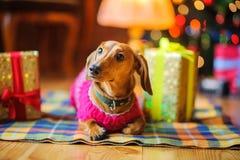 Härlig liten hund av taxen Arkivfoto