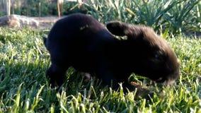 Härlig liten svart kaninspring på gräset lager videofilmer