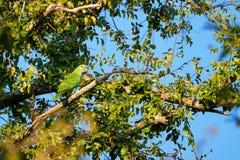 Härlig livlig blå eller turkos beklädd grön papegoja, Amazona Aestiva, i rainforest, Pantanal, Brasilien arkivfoto