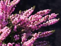 Härlig ljung i blomning Arkivfoton