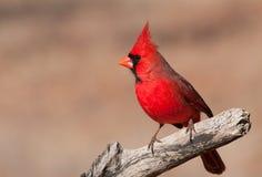 Härlig ljus röd nordlig huvudsaklig manlig Royaltyfri Foto