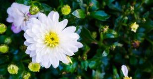 Härlig ljus ren vit dahliablomma med gul hjärta som täckas i regndroppar som förbluffar den botaniska makrocloseupen arkivfoto