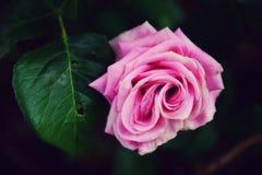 Härlig ljus rosa färgros royaltyfri fotografi