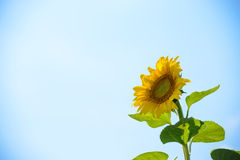 Härlig ljus solros mot den blåa himlen Royaltyfri Fotografi