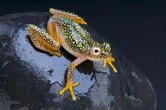 Prickig groda/Heterixalus alboguttatus Royaltyfri Foto