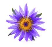 Härlig lotusblomma Arkivfoto